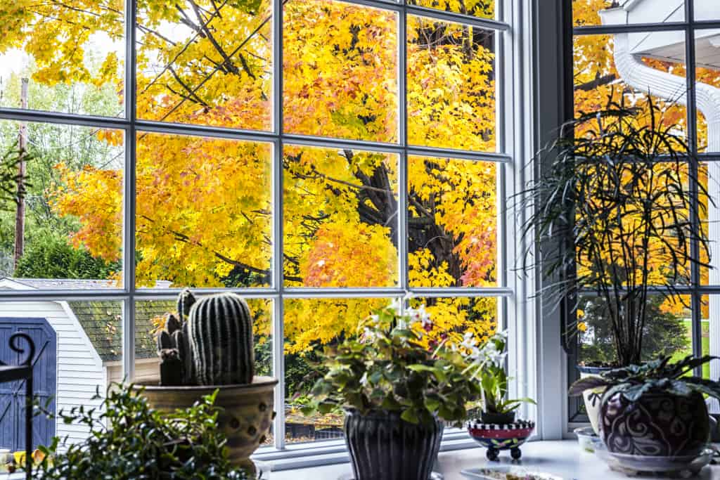 Looking through a bay window over several potted houseplants at a brilliant autumn yellow and orange leaf maple tree in the back yard next to the garden shed.
